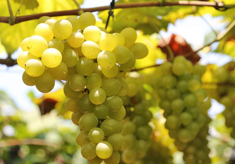 無籽葡萄怎麼生成?這些水果沒有種子該怎麼繁衍?