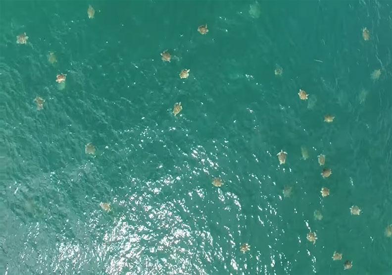 首支大群海龜聚集影片曝光!專家意外拍下「大抵達」畫面