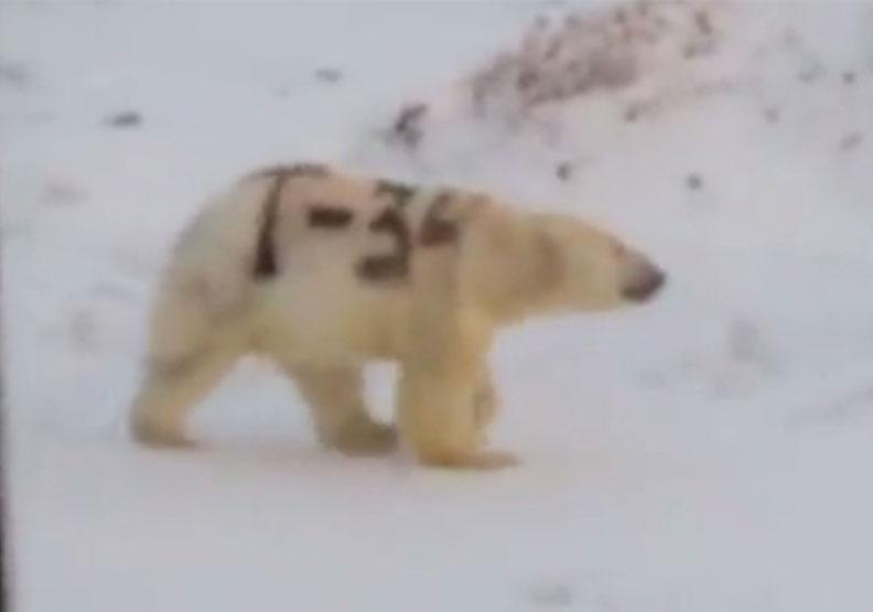 北極熊遭惡整噴上「T-34」字樣 專家憂:恐讓牠難覓食而餓死