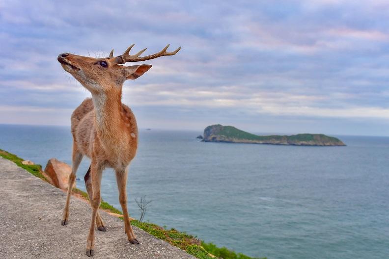 風景絕美的大坵島,可見到媲美日本奈良般親近的梅花鹿群。
