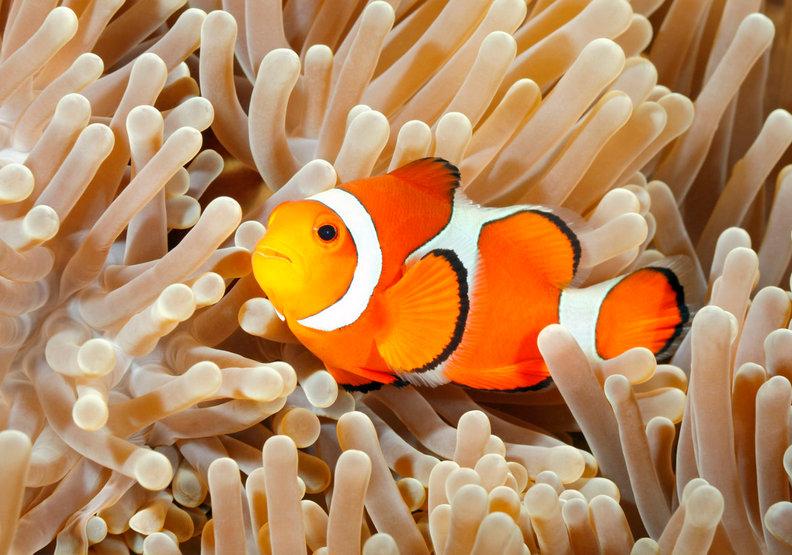 搶救尼莫大作戰!研究證實:大海暖化讓小丑魚面臨嚴重威脅