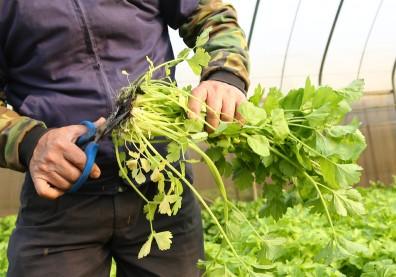 芹菜葉比葉柄還營養!料理配角不只降血壓還能防癌