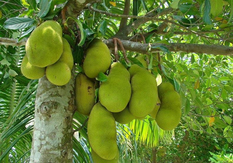 波羅蜜被稱為「世界上最大的果實」。