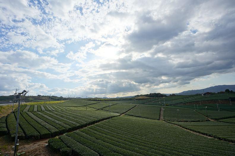 種茶歷史超過600年的八女市,以一望無際的綠海茶園美景聞名。