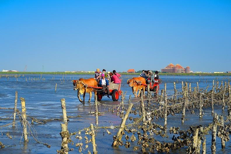 遊客乘坐牛車遊歷潮間帶,擔任一日蚵農,整理蚵田。