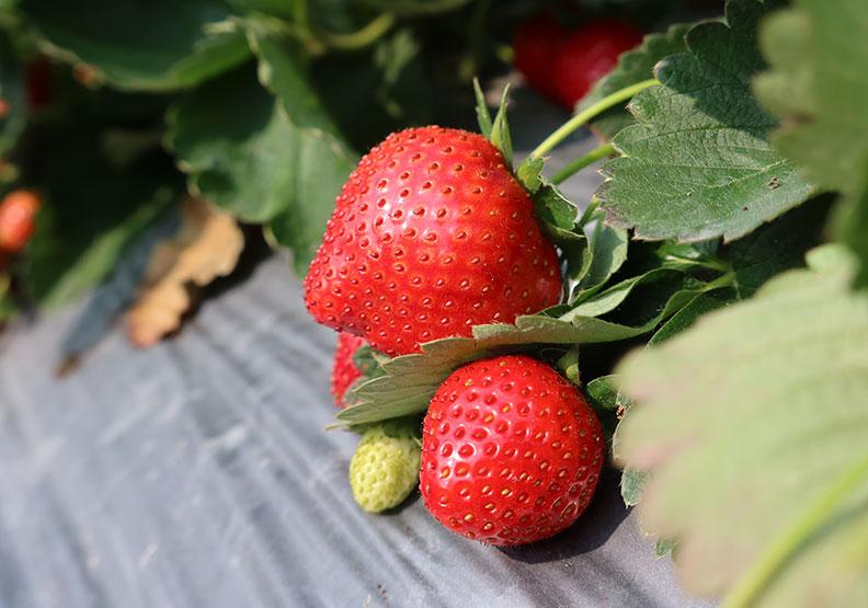 冬天就要吃草莓!清洗保鮮有什麼訣竅?哪些人該少吃?