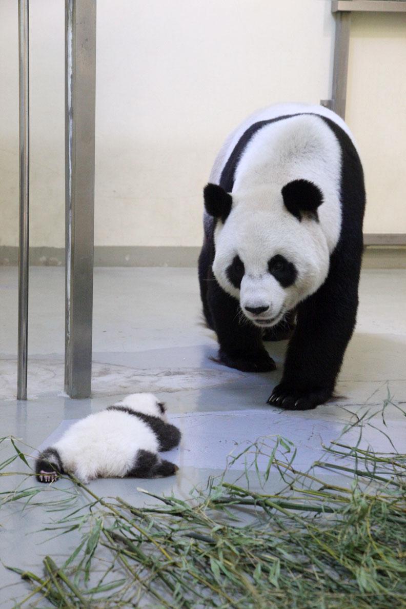 木柵動物園貓熊。(資料照,王能佑攝)