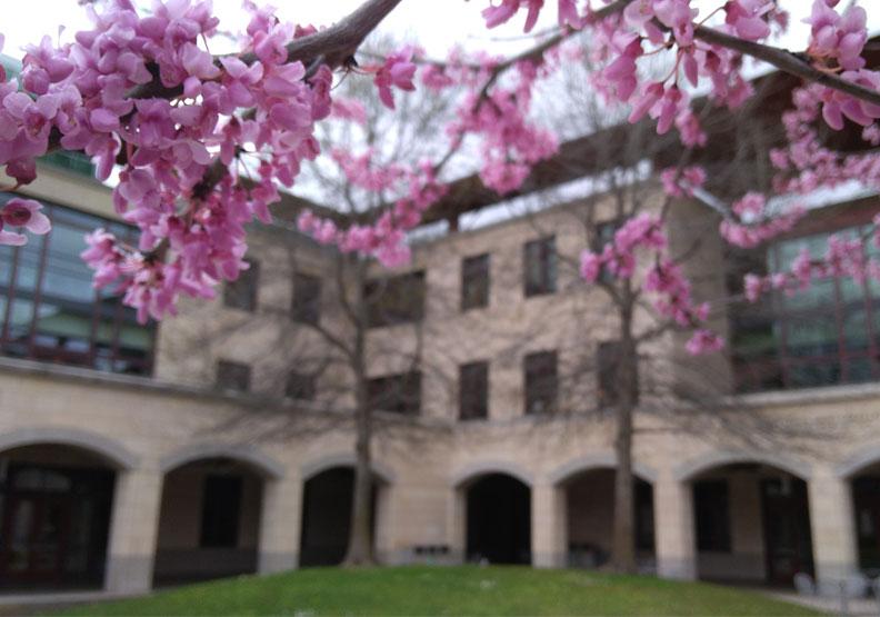 伴隨櫻花綻放的史丹福大學。作者攝