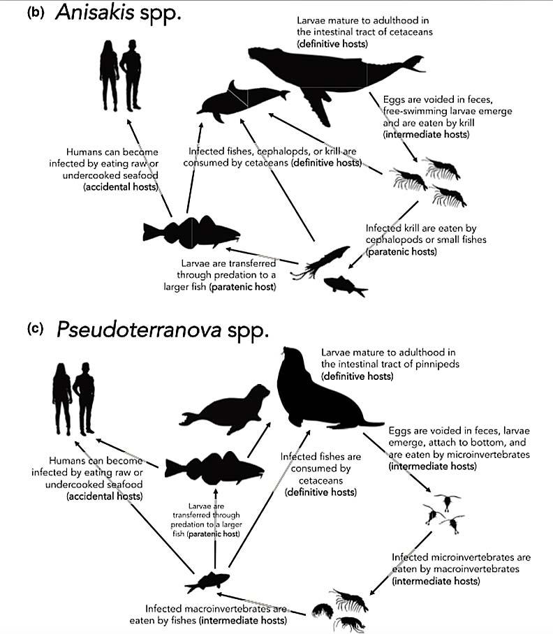 Anisakis屬與Pseudoterranova屬的海獸胃線蟲感染途徑。可見Anisakis屬(上圖)以鯨豚類為最終宿主,Pseudoterranova屬(下圖)以鰭足類為最終宿主。(圖片來源:ResearchGate)