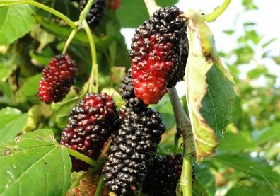 桑葚,有助美容、抗氧化的「21世紀最佳保健水果」!
