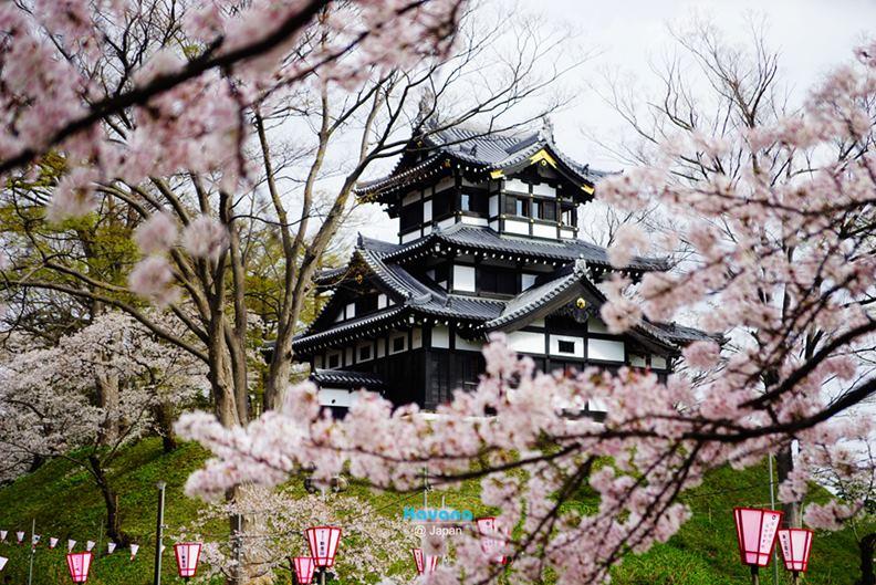 2017年再推出的「續100名城」,大多不在交通便利的都市,攀爬過程也具難度,卡瓦納建議最好別帶伴侶去,「否則很容易變分手團!」不過,喜歡櫻花的朋友倒有機會結合,因為日本評選的「櫻花百選」美景,就有36處位於古城,如被譽三大夜櫻名所的新瀉縣「高田城」。(圖片提供:卡瓦納)