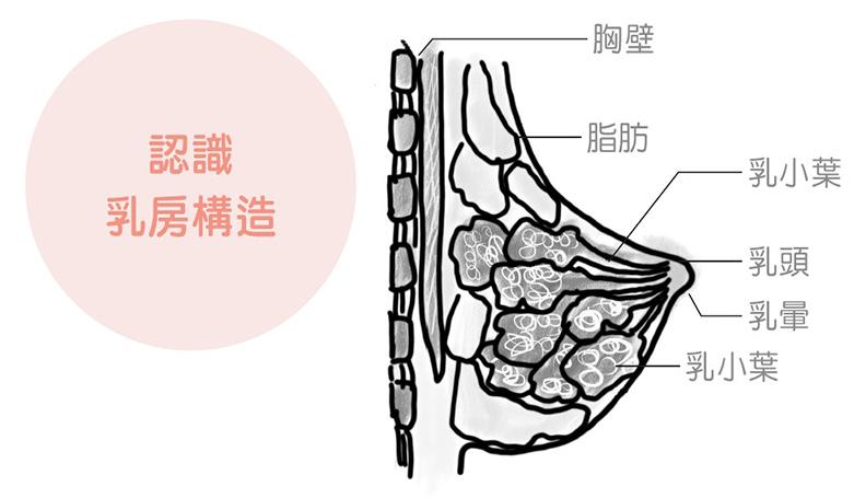 認識乳房構造。