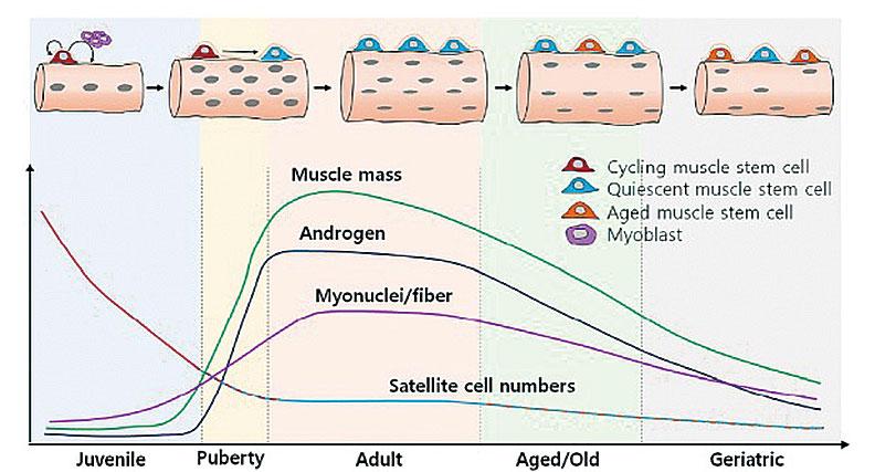 平均肌肉質量隨著年齡增長的下降。(Unraveling the Paradoxical Action of Androgens on Muscle Stem Cells (2019))