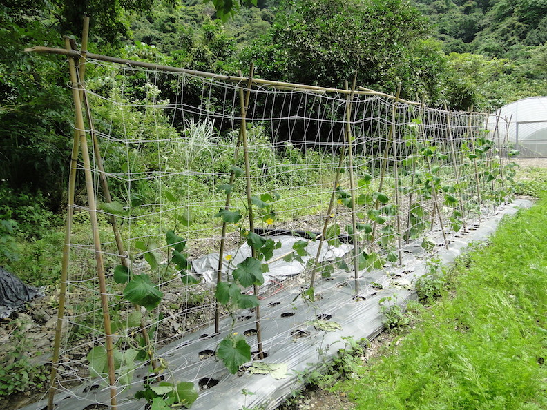 種植小黃瓜時通常都會搭棚架;農業兒童網提供。