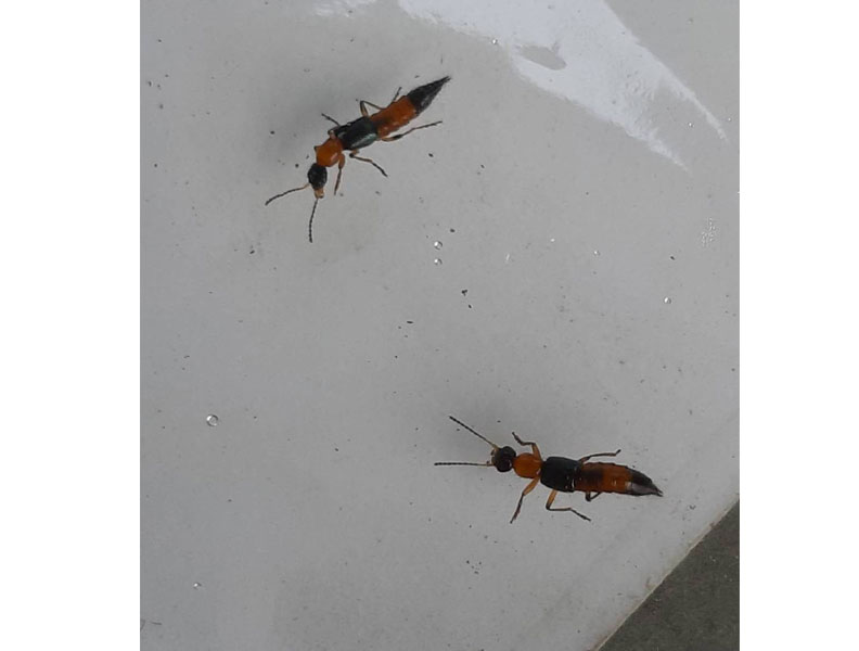 隱翅蟲;中市府農業局提供。