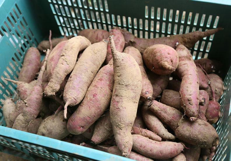 為何馬鈴薯發芽就有毒,地瓜發芽卻還能吃?