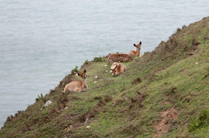 人煙稀少的大坵島,如今成為梅花鹿的生態天堂。