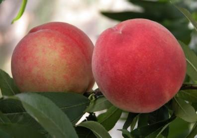 水蜜桃鐵含量比蘋果多3倍、比梨子多5倍!品質好不好看絨毛就知道