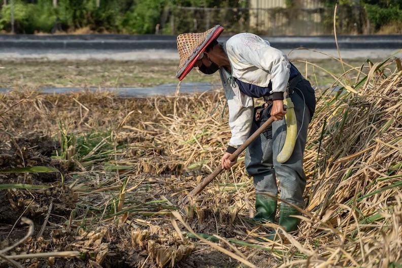 挖筍頭後要篩選黑心苗,留下好的母株種植。