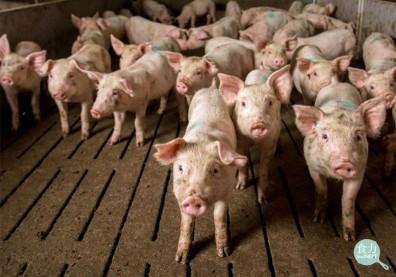 美豬來台!「瘦肉精」萊克多巴胺對人體風險評估一次看懂