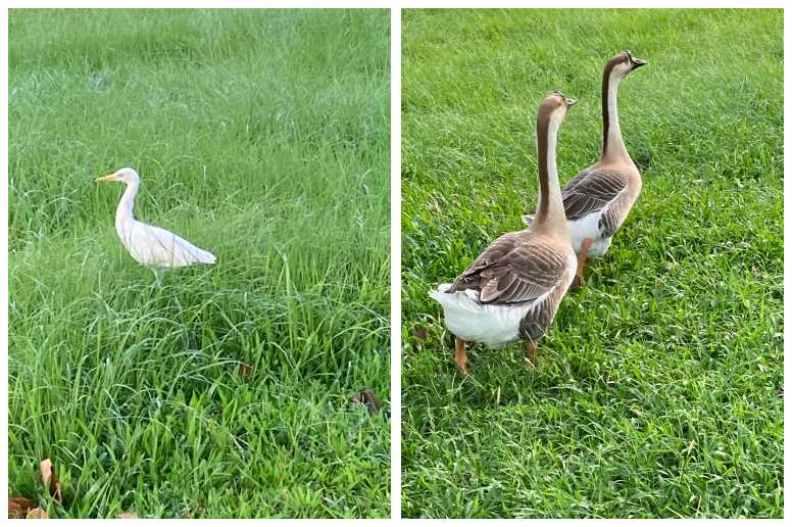 公園裡的白鷺鷥並不怕人,工作人員養來當寵物的鵝也很健壯。陳美伶攝影