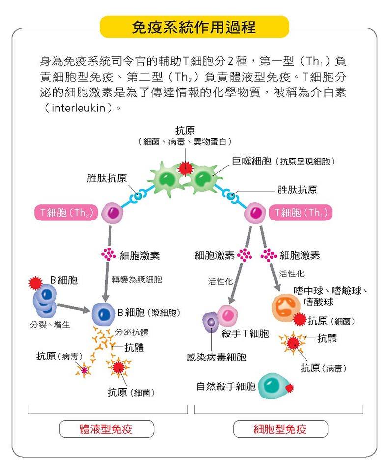 免疫系統作用過程。