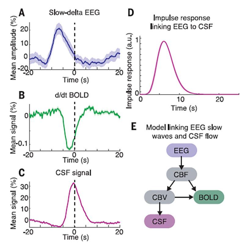 摘錄自《科學》期刊,Science 366, 628-631 (2019)。(A)進入深層睡眠時,腦電波(EEG)變得非常慢(slow-delta),時間標註在零,用虛線貫穿上下三個圖。(B)BOLD(blood oxygen level-dependent signals)代表氧氣多寡的訊號,可以看到進入深層睡眠前,血流開始流出大腦,所以氧氣量下降。(C)CSF代表腦脊髓液,當大腦血液流出時,接著腦脊髓液立即跟著流入大腦。 (D)腦脊髓液的頻率變動對應腦電波的脈動幾乎完全吻合,似乎腦電波在指揮腦脊髓液一般。 (E)腦電波和腦脊液如何互相連接起來的模型圖。其中CBF為腦血流,而CBV為腦中血液的總體積。