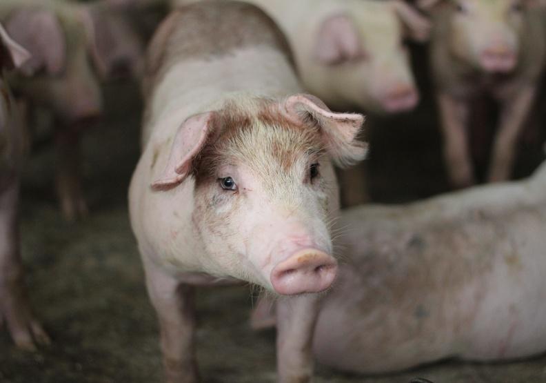 中國「禁台豬令」影響有多大?業者:中港澳占外銷近九成,貿易線恐全斷