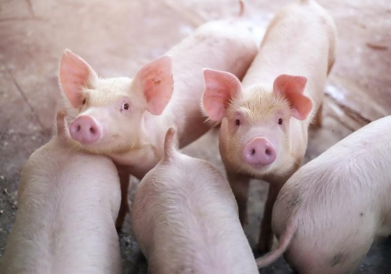美豬、萊克多巴胺能吃嗎?營養師一次點出瘦肉精真正風險在哪…