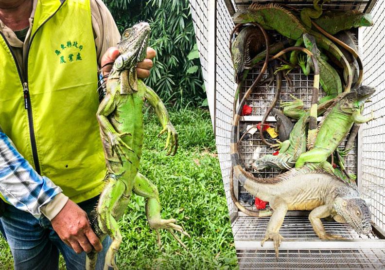 誇張!綠鬣蜥今年移除量首破萬,擴散8縣市屏東抓最多