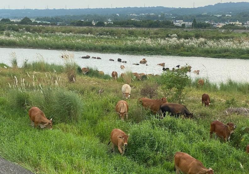 彰化縣芬園鄉貓羅溪畔芒花盛開,芒花間更有逐水草的群牛,可比擬「風吹草低見牛羊」的塞北風光,甚至群牛渡溪而過的景致,更是難得。芬園鄉長林世明提供