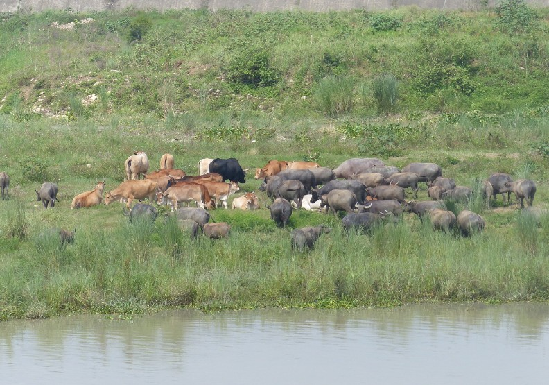 彰化縣芬園鄉貓羅溪畔約200多頭牛群在溪畔逐水草,近日在網路爆紅,除了黃牛、乳牛、水牛等 , 彷彿置身塞北風光。