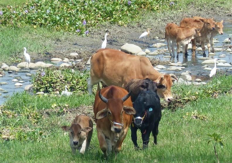 貓羅溪有牛群「非洲大遷徙」?彰化縣府要查