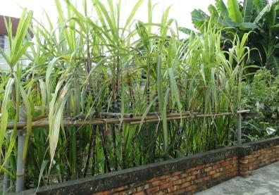 冬天潤喉去燥、止咳化痰的聖品!製糖原料甘蔗含水高達84%