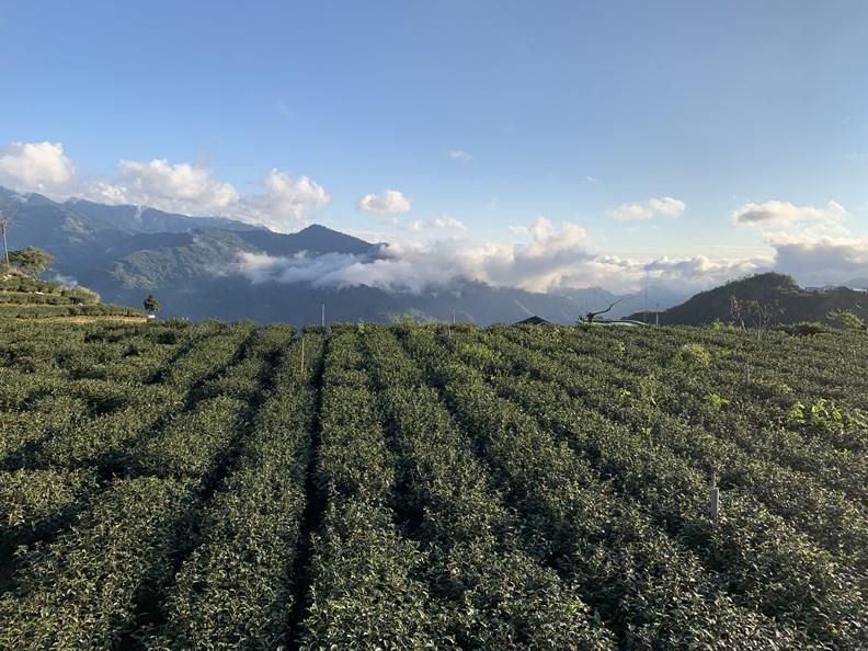 阿里山的茶園美景和雲海風光,可謂遠近馳名。
