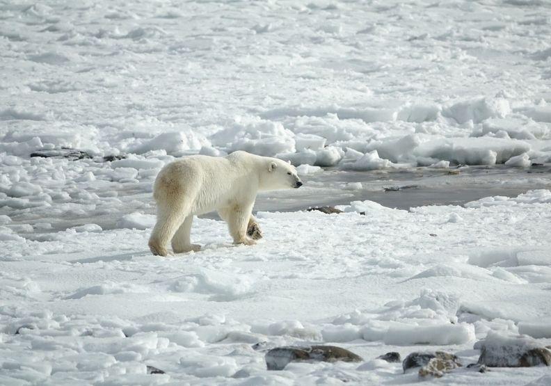 生物多樣性的失衡,來自於人類過度使用資源,搶救北極熊的行動更加迫在眉睫,僅為情境配圖。圖片來自pixabay