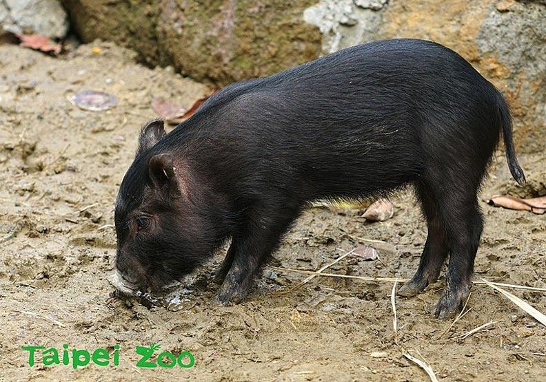 國家級保種族群「蘭嶼豬」重返家園!40年前漂洋到台灣繁殖保存