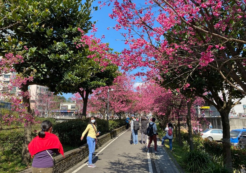 新北市推出線上賞櫻,讓民眾在家中就能與家人一同欣賞美麗花景。新北市景觀處提供