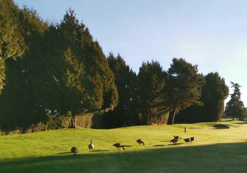 高爾夫球場上的加拿大鵝。作者提供