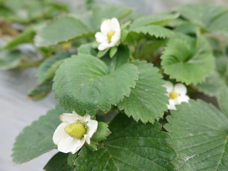 小小白色的是草莓的花。農業兒童網提供