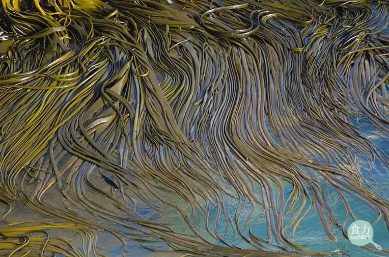 海茸原生在智利、與紐西蘭南部較寒冷的海域裡,由於其來源穩定,可望成為生醫界癌症治療,減緩白血球減少症副作用的新興來源。取自食力。