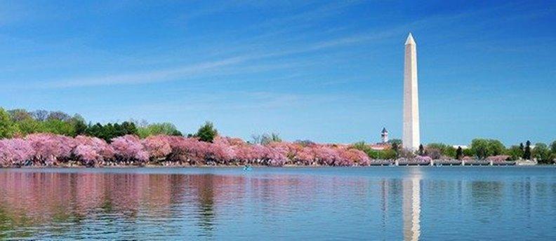 華盛頓櫻花盛開。圖片來自美國華府櫻花節網站