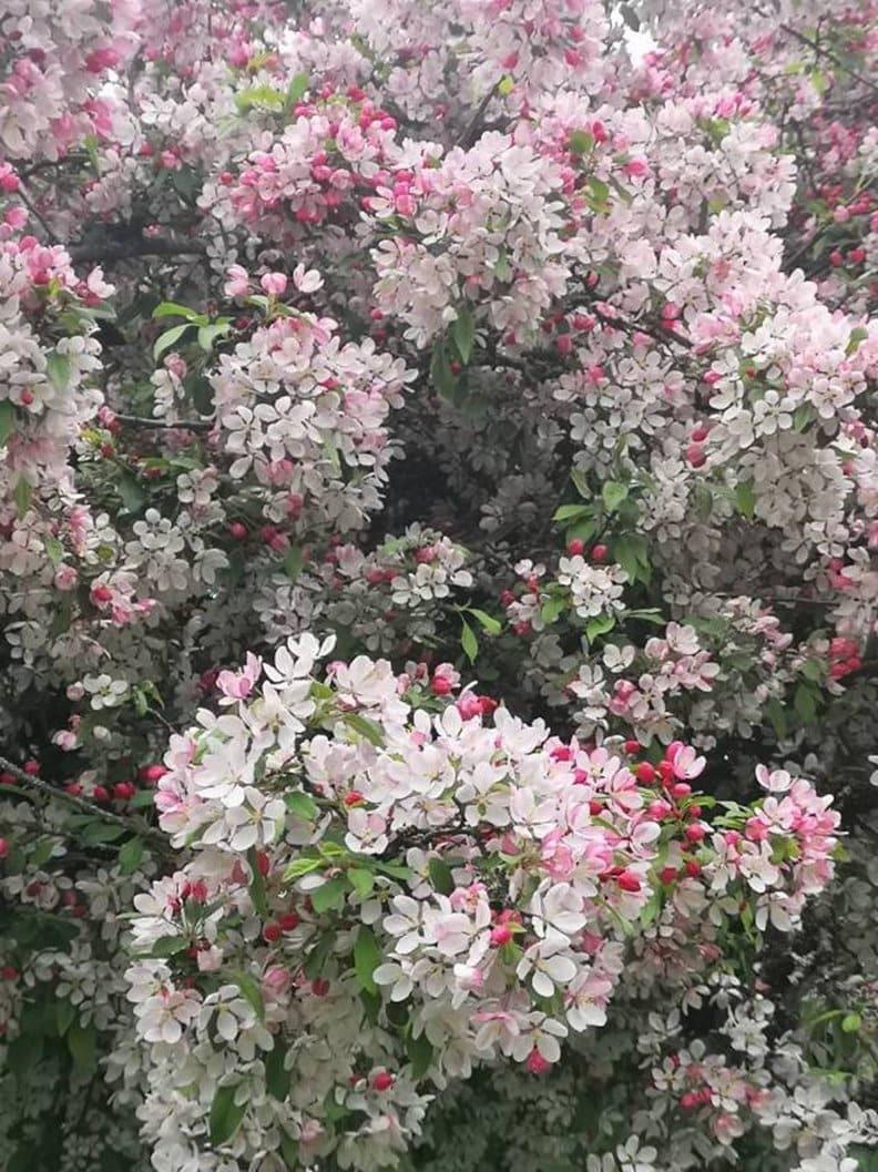 野山楂的花苞像小果子。作者友人Lily提供