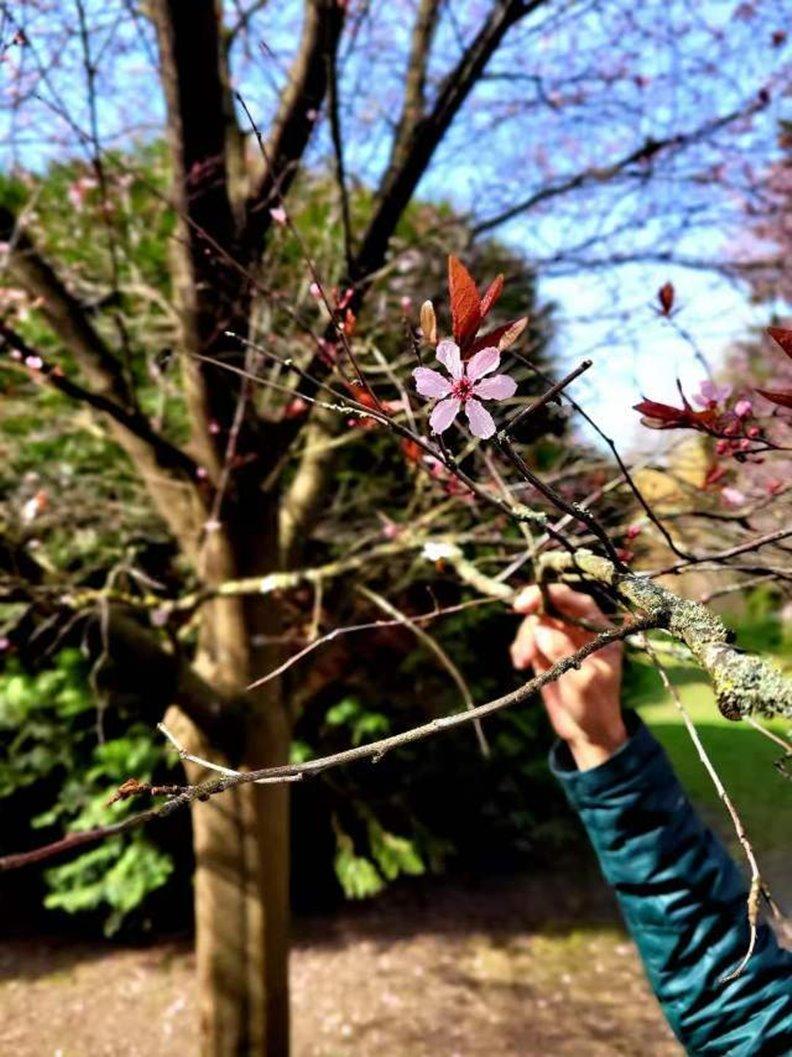 稀有的六瓣李花。照片由作者提供