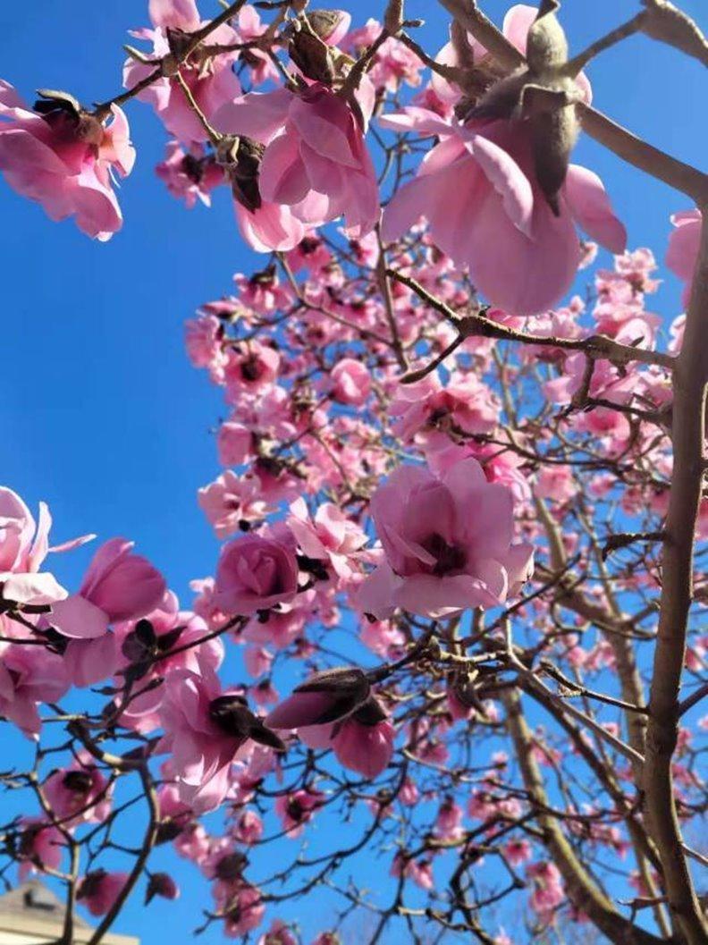 木蘭盛開。照片由作者提供
