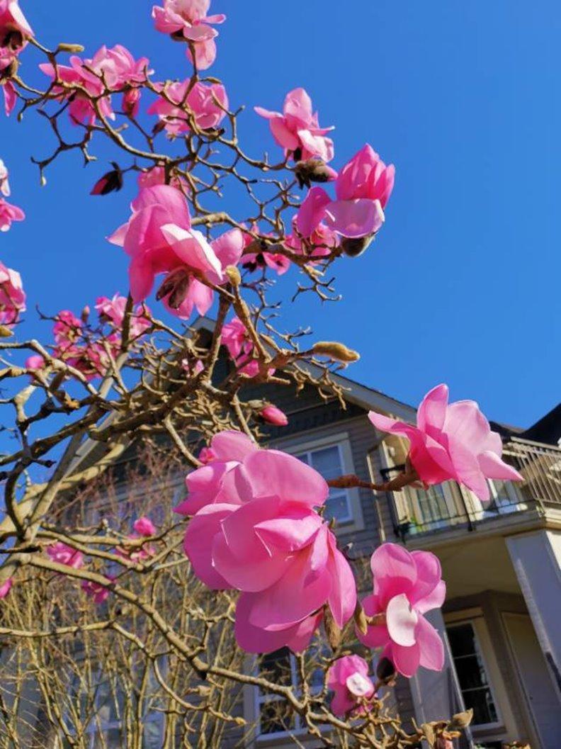 木蘭花又稱辛夷。照片由作者提供