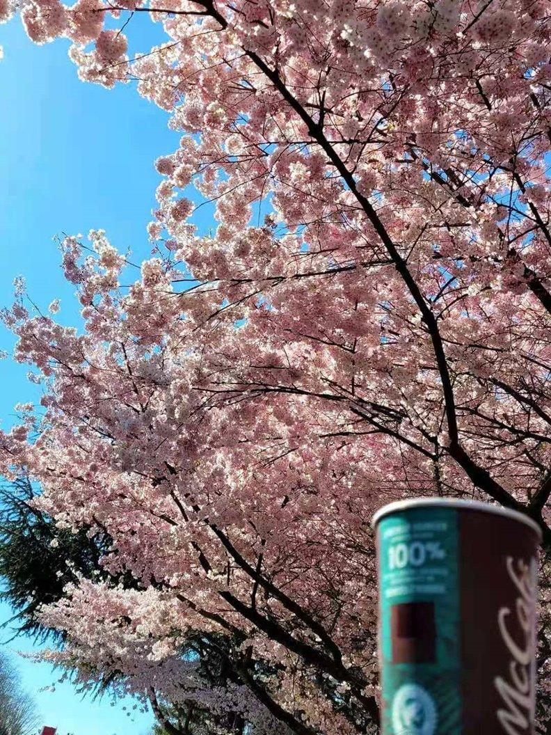 花下賞櫻嘆飲咖啡。照片由顧小崙提供