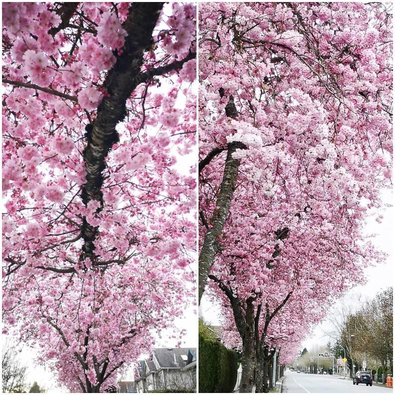 雲城櫻花一景。照片皆由作者友人Lily提供