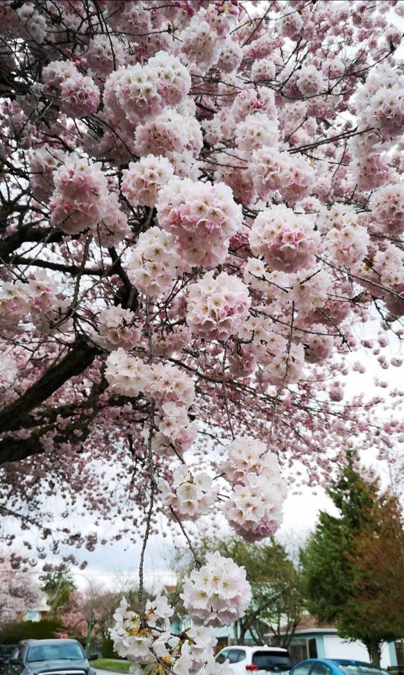 白色的曙櫻是當地開得較早的櫻花。照片由作者友人Lily提供
