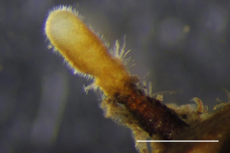 小西氏石櫟菌絲接種五葉松形成的菌根。林試所提供
